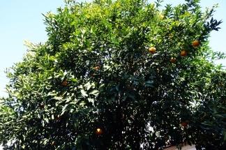 Der Yuzu-Baum