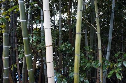 Japanischer Bambus direkt vor der Haustür.
