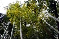 Japanischer Bambus - höher als man sich das vorstellt.